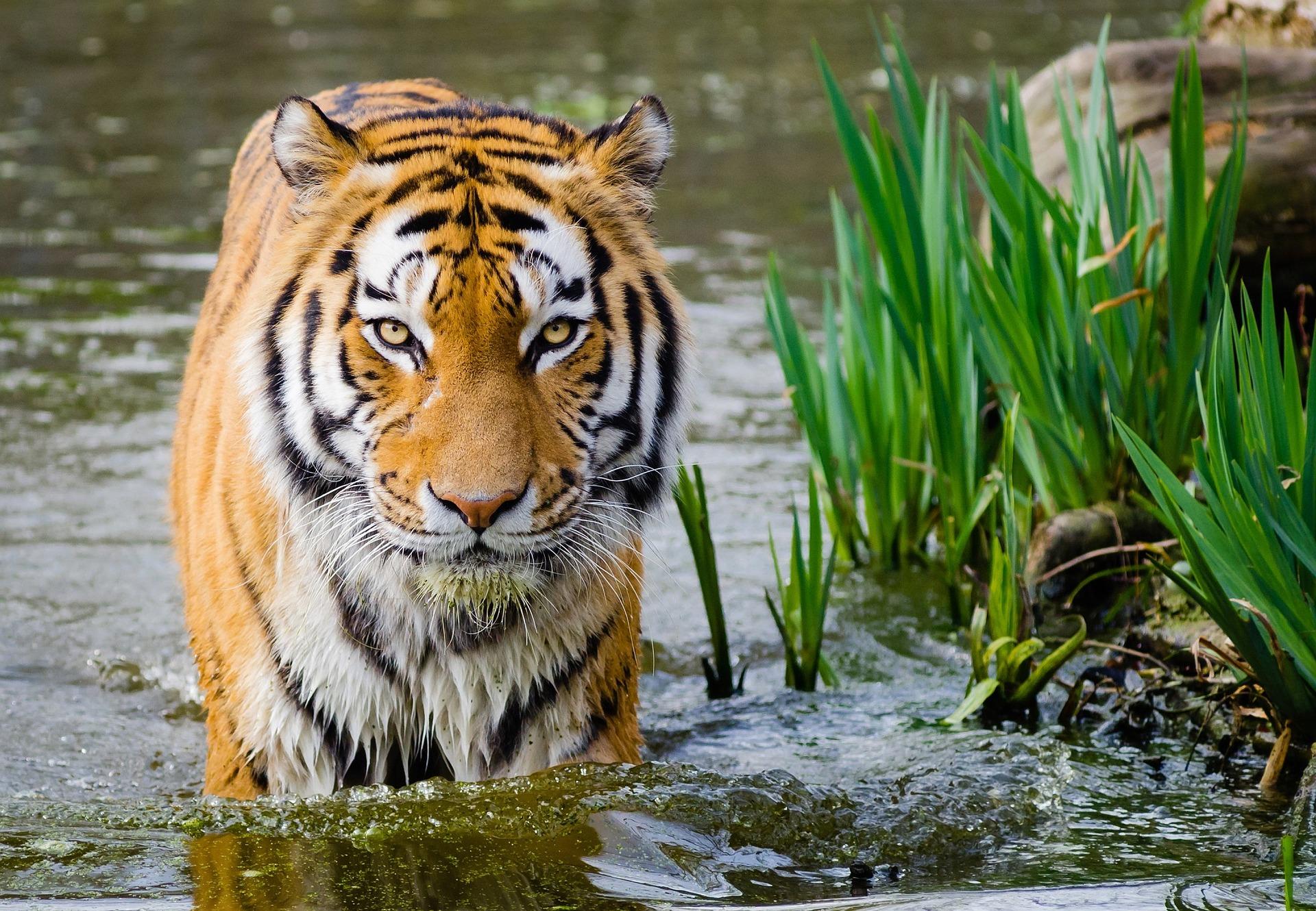 tiger 1024301 1920 - Tiger retten mit Hanf? Ein Berliner CBD Startup macht es vor